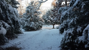 Snowcovered cedars lining driveway 2014